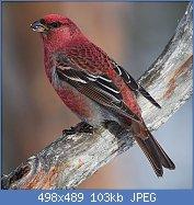 Cliquez sur l'image pour la voir en taille réelle  Nom : Pine_Grosbeak_(Pinicola_enucleator)_(13667564073).jpg Affichages : 41 Taille : 103,0 Ko ID : 114805
