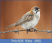 Cliquez sur l'image pour la voir en taille réelle  Nom : Speckle-fronted_Weaver_RWD4.jpg Affichages : 2 Taille : 52,8 Ko ID : 122772