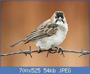 Cliquez sur l'image pour la voir en taille réelle  Nom : Speckle-fronted_Weaver_RWD3.jpg Affichages : 2 Taille : 54,1 Ko ID : 122773