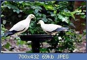 Cliquez sur l'image pour la voir en taille réelle  Nom : 1280px-PIED_IMPERIAL_PIGEON_(8552161752).jpg Affichages : 7 Taille : 69,0 Ko ID : 121955