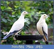 Cliquez sur l'image pour la voir en taille réelle  Nom : PIED_IMPERIAL_PIGEON_(8551030231).jpg Affichages : 7 Taille : 75,0 Ko ID : 121956