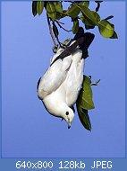 Cliquez sur l'image pour la voir en taille réelle  Nom : Pied_Imperial_Pigeon,_Ducula_bicolor_bicolor.jpg Affichages : 50 Taille : 128,1 Ko ID : 121957