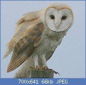 Cliquez sur l'image pour la voir en taille réelle  Nom : Flickr_-_Rainbirder_-_Barn_Owl_(Tyto_alba).jpg Affichages : 1 Taille : 65,7 Ko ID : 123533