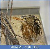 Cliquez sur l'image pour la voir en taille réelle  Nom : 1280px-Butor_étoilé_Argelès-Gazost_parc_animalier.jpg Affichages : 2 Taille : 69,8 Ko ID : 122953