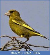 Cliquez sur l'image pour la voir en taille réelle  Nom : verdier-breeding.jpg Affichages : 50 Taille : 39,1 Ko ID : 121697