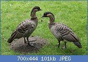 Cliquez sur l'image pour la voir en taille réelle  Nom : Branta_sandvicensis_(Bernache_néné)_-_465.jpg Affichages : 4 Taille : 101,0 Ko ID : 121976