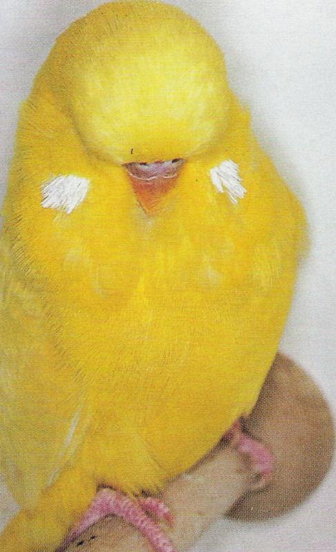 Opale, jeune perruche de 8 mois Attachment