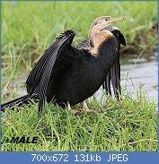 Cliquez sur l'image pour la voir en taille réelle  Nom : 1280px-Oriental_darter_in_Chobe_National_Park_01.jpg Affichages : 3 Taille : 131,0 Ko ID : 121961