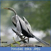 Cliquez sur l'image pour la voir en taille réelle  Nom : Darter_I2-Bharatpur_IMG_8101.jpg Affichages : 3 Taille : 88,7 Ko ID : 121963