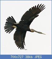 Cliquez sur l'image pour la voir en taille réelle  Nom : Oriental_Darter_in_flight_-_Series_3_of_4_-_Flickr_-_Lip_Kee.jpg Affichages : 3 Taille : 38,0 Ko ID : 121965