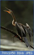 Cliquez sur l'image pour la voir en taille réelle  Nom : 800px-Darter_(Snake_Bird)_DSC_0661.jpg Affichages : 3 Taille : 81,5 Ko ID : 121966