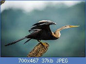 Cliquez sur l'image pour la voir en taille réelle  Nom : Anhinga_melanogaster_at_Nagarhole.jpg Affichages : 4 Taille : 37,1 Ko ID : 121968
