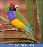 Cliquez sur l'image pour la voir en taille réelle  Nom : Male_adult_Gouldian_Finch.jpg Affichages : 21 Taille : 67,6 Ko ID : 118580