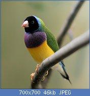 Cliquez sur l'image pour la voir en taille réelle  Nom : 1024px-Erythrura_gouldiae_-Frankfurt_Zoo_-black_headed-8a-3cp.jpg Affichages : 15 Taille : 45,8 Ko ID : 118581