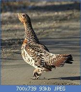 Cliquez sur l'image pour la voir en taille réelle  Nom : Tetrao_urogallus_-_Eurasian_Capercaille_-_Tjäder.jpg Affichages : 3 Taille : 92,8 Ko ID : 122933