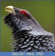 Cliquez sur l'image pour la voir en taille réelle  Nom : Grand-tétras-7.jpg Affichages : 2 Taille : 64,2 Ko ID : 122935