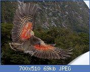 Cliquez sur l'image pour la voir en taille réelle  Nom : Kea_about_to_land,_displaying_orange_underside_of_wing.jpg Affichages : 99 Taille : 69,4 Ko ID : 106851