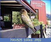 Cliquez sur l'image pour la voir en taille réelle  Nom : Kea_(Nestor_notabilis)_-Arthurs_Pass_-NZ-6.jpg Affichages : 90 Taille : 100,3 Ko ID : 106853