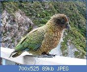 Cliquez sur l'image pour la voir en taille réelle  Nom : Kea_(Nestor_notabilis)_-in_NZ_-side_view.jpg Affichages : 82 Taille : 88,6 Ko ID : 106854