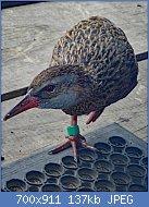 Cliquez sur l'image pour la voir en taille réelle  Nom : 800px-Gallirallus_australis_hectori_31439773.jpg Affichages : 14 Taille : 136,7 Ko ID : 123395