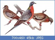 Cliquez sur l'image pour la voir en taille réelle  Nom : Ectopistes_migratoriusAAP042CA.jpg Affichages : 8 Taille : 44,7 Ko ID : 121973