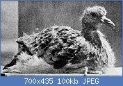 Cliquez sur l'image pour la voir en taille réelle  Nom : Young_passenger_pigeon.jpg Affichages : 4 Taille : 99,8 Ko ID : 121974