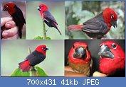 Cliquez sur l'image pour la voir en taille réelle  Nom : Cascanueces%20de%20Camerún.jpg Affichages : 7 Taille : 41,3 Ko ID : 121996