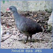 Cliquez sur l'image pour la voir en taille réelle  Nom : Crypturellus_tataupa.jpg Affichages : 3 Taille : 80,8 Ko ID : 122003