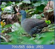 Cliquez sur l'image pour la voir en taille réelle  Nom : Crypturellus_tataupa_-Piraju,_Sao_Paulo,_Brasil-8.jpg Affichages : 3 Taille : 65,7 Ko ID : 122004