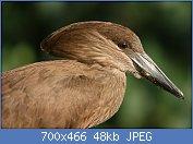 Cliquez sur l'image pour la voir en taille réelle  Nom : 1280px-Hammerkopf2.jpg Affichages : 2 Taille : 48,3 Ko ID : 122012