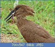 Cliquez sur l'image pour la voir en taille réelle  Nom : Hamerkop_(Scopus_umbretta)_eating_a_Platanna_(Xenopus_sp.)_(5984907524).jpg Affichages : 2 Taille : 84,4 Ko ID : 122013