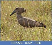 Cliquez sur l'image pour la voir en taille réelle  Nom : Hamerkop_(Scopus_umbretta)_2.jpg Affichages : 2 Taille : 80,0 Ko ID : 122015