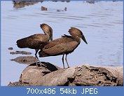 Cliquez sur l'image pour la voir en taille réelle  Nom : Scopus_umbretta_-Mapungubwe_National_Park,_Limpopo_Province,_South_Africa-8_(1).jpg Affichages : 2 Taille : 54,0 Ko ID : 122016