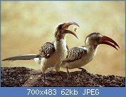 Cliquez sur l'image pour la voir en taille réelle  Nom : 1280px-Red-billed_Hornbills_(Tockus_erythrorhynchus).jpg Affichages : 12 Taille : 62,2 Ko ID : 122959