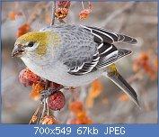 Cliquez sur l'image pour la voir en taille réelle  Nom : Pine_Grosbeak,_Pinicola_enucleator,_adult_female.jpg Affichages : 54 Taille : 66,7 Ko ID : 114806