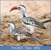 Cliquez sur l'image pour la voir en taille réelle  Nom : calao-bec-rouge-pair-dossier.jpg Affichages : 5 Taille : 70,8 Ko ID : 122960