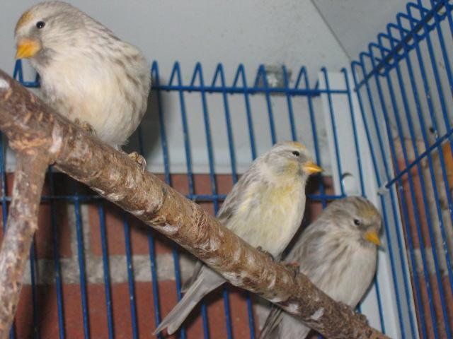 oiseaux sizerins mutation cobalt