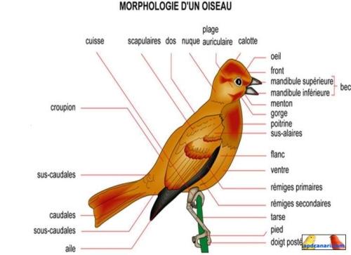 Les quatre caractères suivants les plumes les ailes les pattes et le