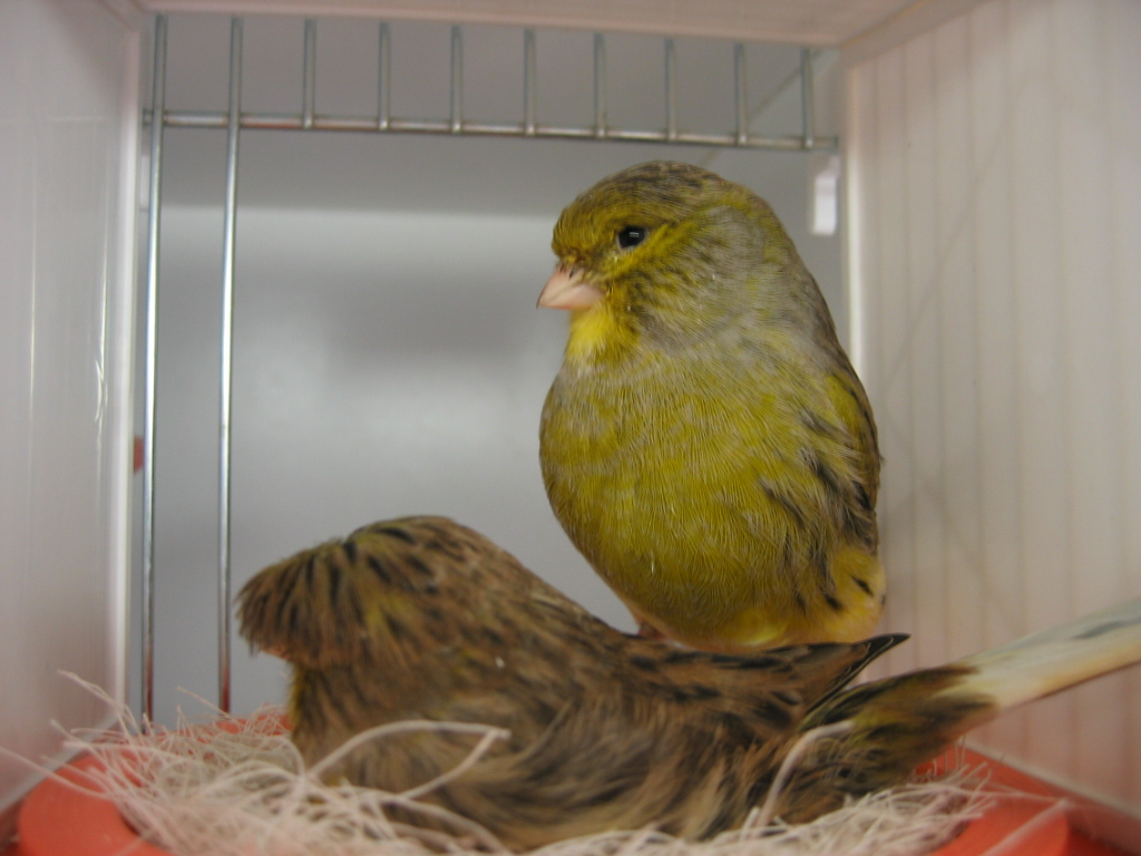 La reproduction chez les canaris au paradis des canaris for Oiseau par la couleur