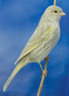 Agate jaspe mosaique jaune type 1 femelle
