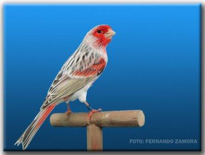 Agate pastel rouge mosaique type 2 mâle